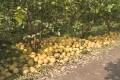 【视频】永定区:两百万斤菊花芯柚滞销    果农心急愁销路
