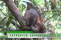 【武陵源新闻】张家界国家森林公园:松鼠林间穿梭觅食 萌态十足惹人爱