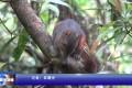 张家界国家森林公园:松鼠林间穿梭觅食 萌态十足惹人爱