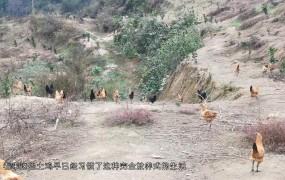 《美丽乡村行》2019-11-17余云庆:土鸡重燃创业梦