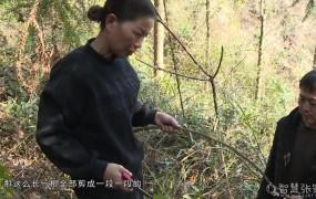 《美丽乡村行》2021-03-15探寻野生莓茶
