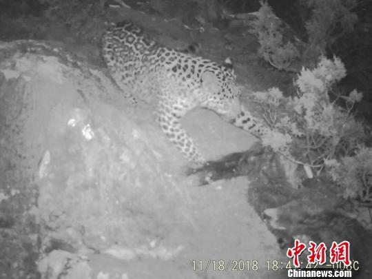 视频截图为红外相机记录到的金钱豹捕食画面。 视频截图 摄